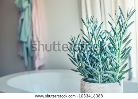 House green plant succulent  Senecio serpens or Blue Chalksticks in bathroom, close up #1033416388