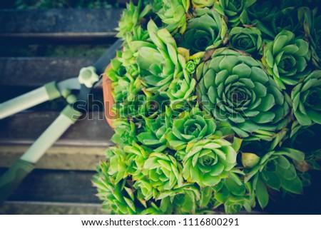 House leek / Home gardening equipment