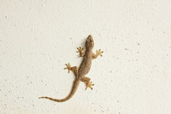 House lizard or little gecko on a white wall.