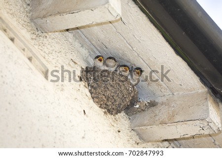 House Martin (Delichon urbicum) nest and chicks on a house in North Yorkshire; England, United Kingdom