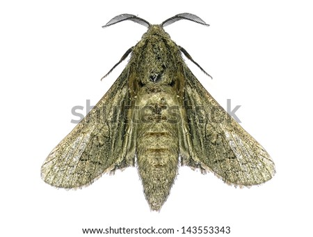 House moth isolated on the white background