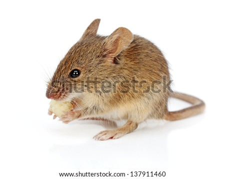 House mouse eating piece of cheese (Mus musculus)