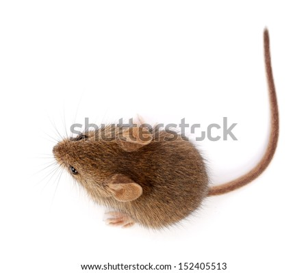House mouse on white, looking up (Mus musculus)