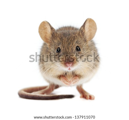 Photo of House mouse standing on rear feet (Mus musculus)