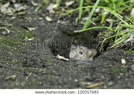 House Mouse sticking its head out of a hole in the ground.