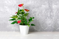 House plant Anthurium in white flowerpot isolated on white table and gray background Anthurium is heart - shaped flower Flamingo flowers or Anthurium andraeanum (Araceae or Arum) symbolize hospitality