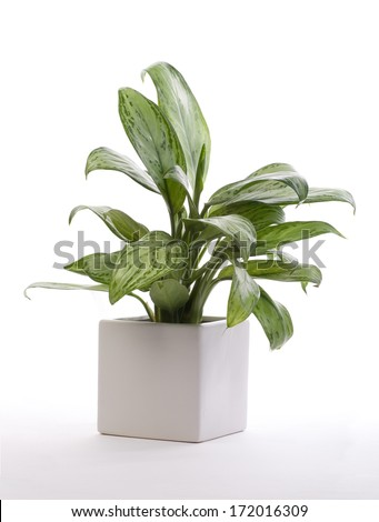 House Plant - Chinese Evergreen  #172016309