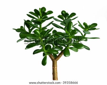 money plant tree. money plant crassula. stock