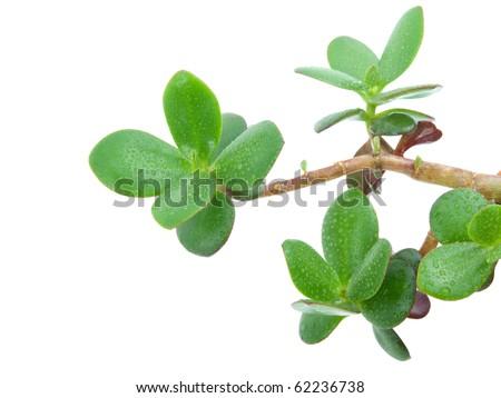 money plant tree. Ovata or Money tree.