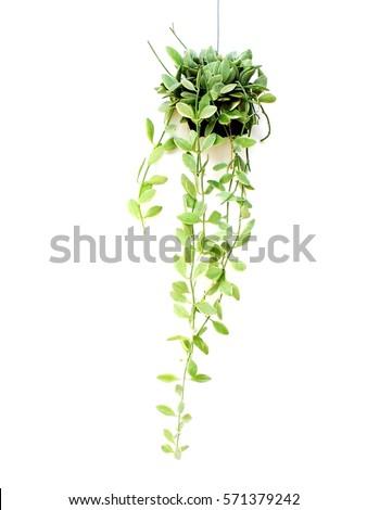house plant hanging on white background #571379242