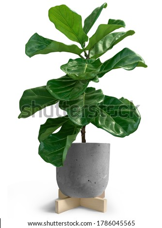 House Plant of Fiddle leaf fig tree in loft pot on white background Сток-фото ©