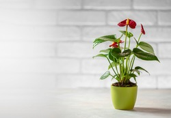 House plant red Anthurium in a pot on a wooden table. Anthurium andreanum. Flower Flamingo flowers or Anthurium andraeanum symbolize hospitality. Copy space