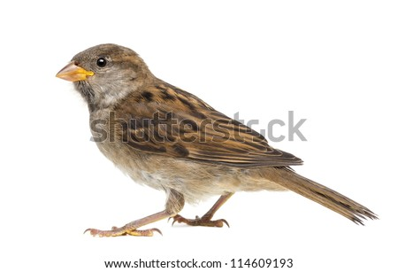 House Sparrow against white background