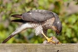 House Sparrow as prey of Sparrow Hawk