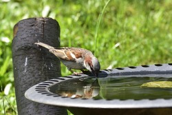 House sparrow in a bird bath