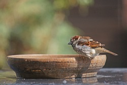 House sparrow just before he takes a bath