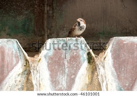 House Sparrow on San Antonio Riverwalk Fountain