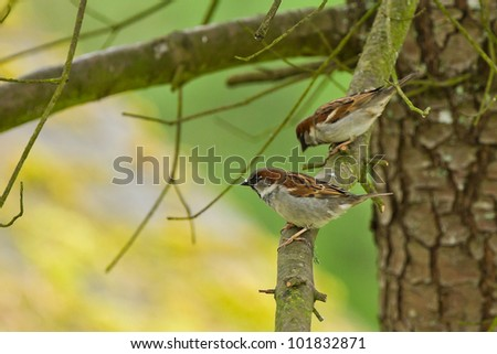 House Sparrow (Passer domesticus).
