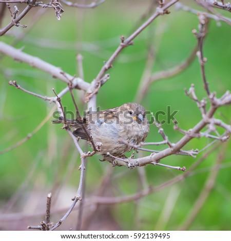 House Sparrow, Passer domesticus, bird #592139495