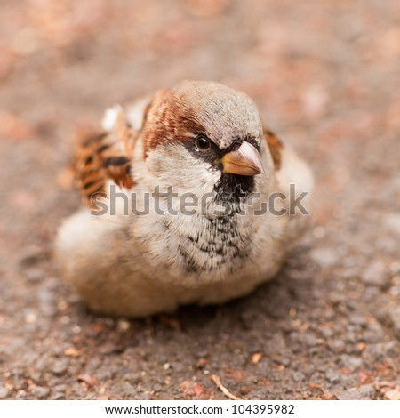 House Sparrow, Passer domesticus, foraging on the ground for food