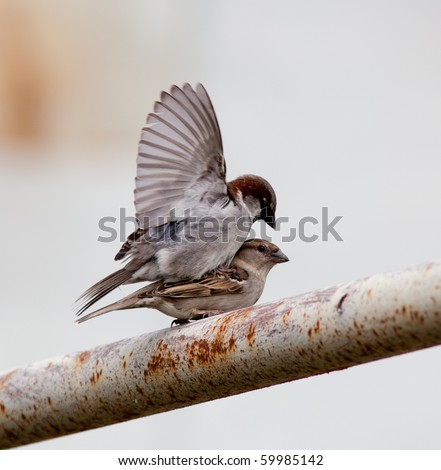 House Sparrow, Passer domesticus. Male and female pairing.