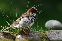 House sparrow, Passer domesticus, male stands on stone with grass by the bird's waterhole. Czechia. Europe.
