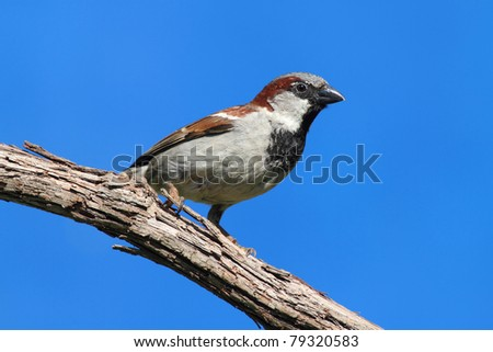 House Sparrow (Passer domesticus) perched on a branch with a blue sky background
