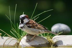 House sparrow, Passer domesticus stands on the stones with grass by the bird's waterhole. Czechia. Europe.
