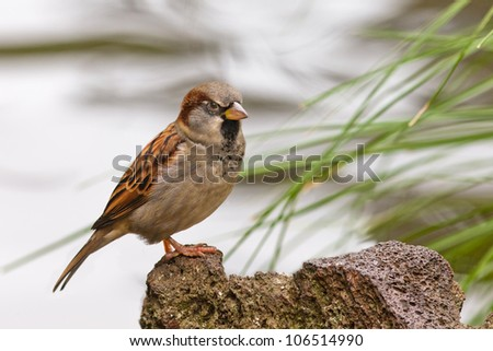 House Sparrow, Passer domesticus, watchfully perching on a rock
