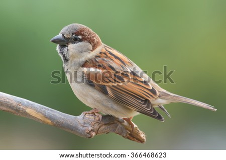 House sparrow perched on a tree branch. - Shutterstock ID 366468623