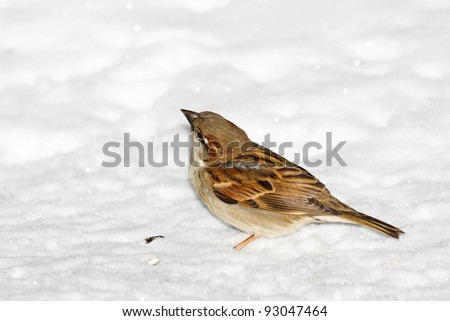 house sparrow sitting in fresh snow with it's head slightly tilted after eating sunflower seeds. background is freshly fallen white powder snow.