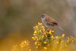 House Sparrow sitting on flowers/plant