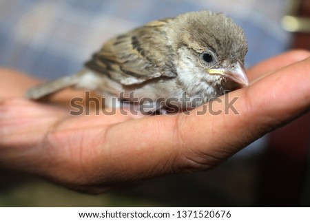 house sparrows are the most common bird but rare to see sparrow as pet . sparrow are not only cute but also very friendly. in this picture sparrow is in hand  #1371520676