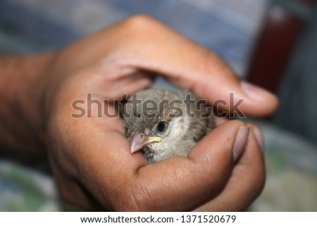 house sparrows are the most common bird but rare to see sparrow as pet . sparrow are not only cute but also very friendly. in this picture sparrow is in hand  #1371520679