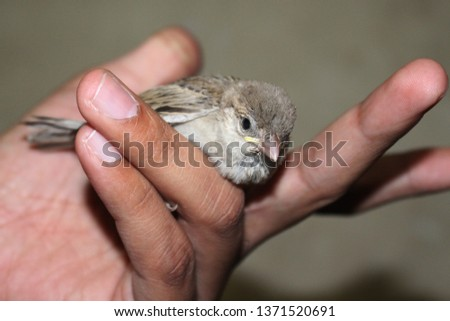 house sparrows are the most common bird but rare to see sparrow as pet . sparrow are not only cute but also very friendly. in this picture sparrow is in hand  #1371520691