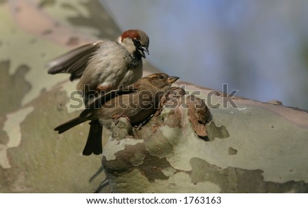 House sparrows (Passer domesticus) mating, Central Park, New York City