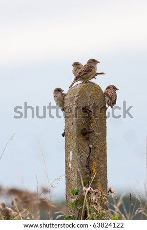 House Sparrows Perched on Old Fence Post