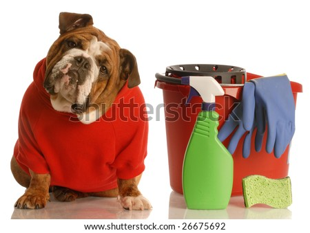 house training a puppy - english bulldog sitting beside bucket with cleaning products