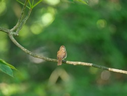 House wren on tree branch in Ohio