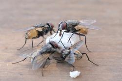 Houseflies eating food on brown table, flies feeding outdoors. Selective focus.