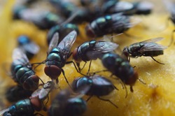 Houseflies perched on leftover mango fruit sucking juice. Macro