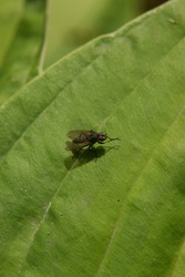 Housefly cleans its feet on a green leaf