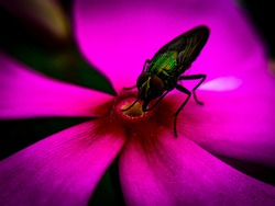 Housefly eating food from plants