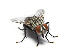 Housefly fly flies isolated on white background with shadow.