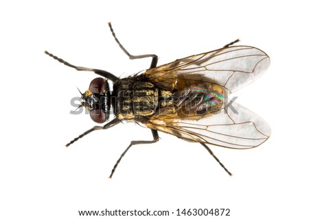Housefly (Musca domestica) isolated on white background. Top down view of house fly from above.