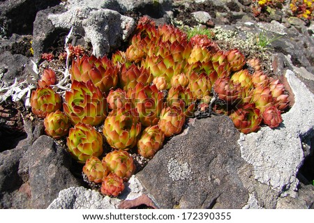 Houseleek plant on rocks