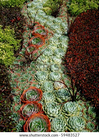 Houseleek (Sempervivum species), also called stone-crop.