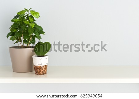 Houseplant. Arrangement of Coffee tree plant  and heart shaped Ho ya plant  planted in pots  #625949054