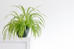 houseplant, Chlorophytum comosum in front of a light wall in a green pot, house plant, indoor plant, copy space