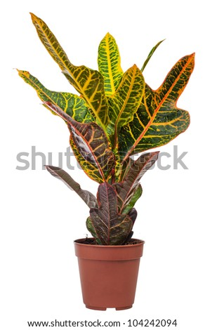 houseplant Codiaeum Mix is isolated on a white background - stock photo